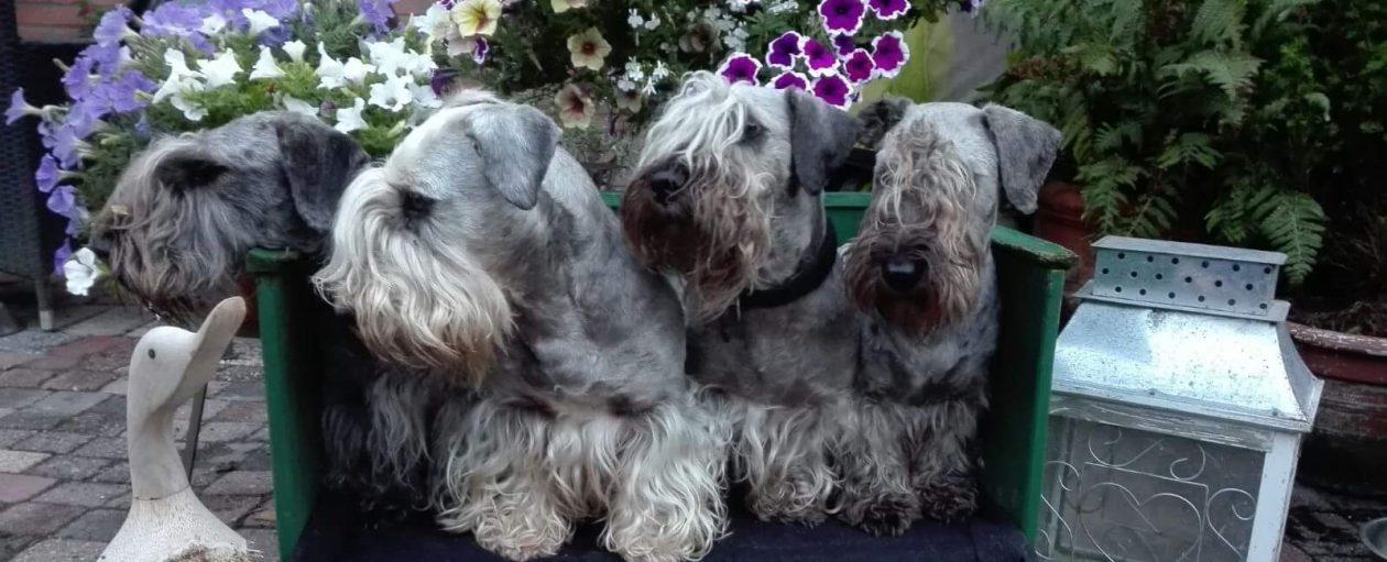 Boheemse-/ Cesky Terriers